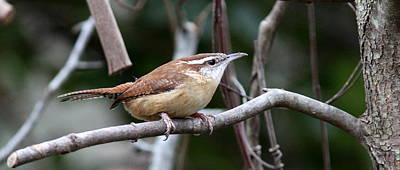 Photograph - Img_1677-002 - Carolina Wren - Coffee Mug by Travis Truelove