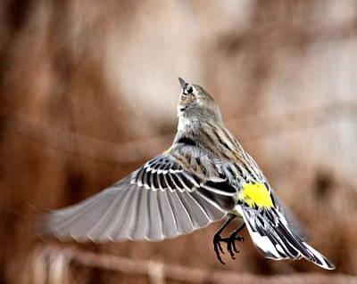 Photograph - Img_1743-001 - Yellow-rumped Warbler by Travis Truelove