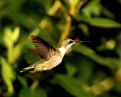 Photograph - Img_1776 - Ruby-throated Hummingbird by Travis Truelove