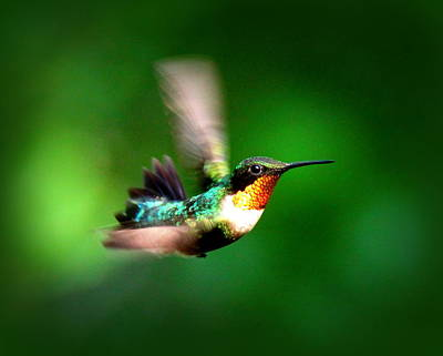 Photograph - Img_1851-004 -  Ruby-throated Hummingbird by Travis Truelove