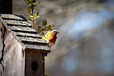 Photograph - Img_1872-001 - Eastern Bluebird by Travis Truelove