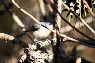Photograph - Img_1921-001 - Tufted Titmouse by Travis Truelove