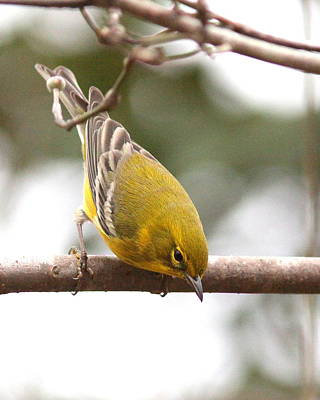 Ethereal - IMG_2023 - Pine Warbler by Travis Truelove