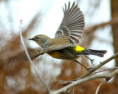 Photograph - Img_2142-001 - Yellow-rumped Warbler by Travis Truelove