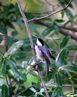 Nirvana - IMG_2171 - Carolina Chickadee by Travis Truelove