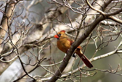 Photograph - Img_2256 - Northern Cardinal by Travis Truelove