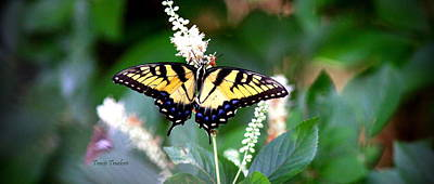 Photograph - Img_2289-002 - Swallowtail by Travis Truelove