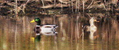 Photograph - Img_2354 - Mallard Pair - Coffee Mug by Travis Truelove