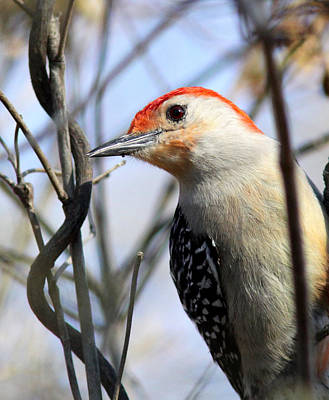 Photograph - Img_2545 - Red-bellied Woodpecker by Travis Truelove
