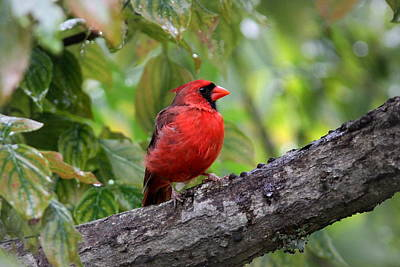 Photograph - Img_2722 - Northern Cardinal by Travis Truelove