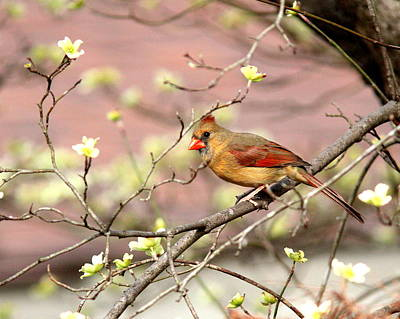Photograph - Img_2726-003 - Northern Cardinal by Travis Truelove