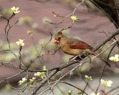 Photograph - Img_2726-004 - Northern Cardinal by Travis Truelove