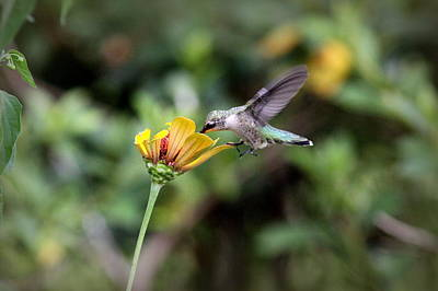 Photograph - Img_2734-001 - Ruby-throated Hummingbird by Travis Truelove