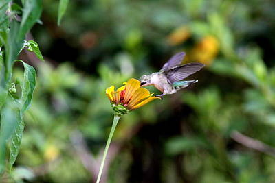 Photograph - Img_2737-001 -  Ruby-throated Hummingbird by Travis Truelove