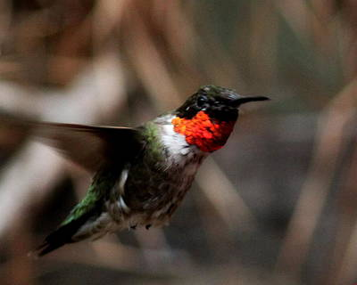 Photograph - Img_2869 - Ruby-throated Hummingbird by Travis Truelove