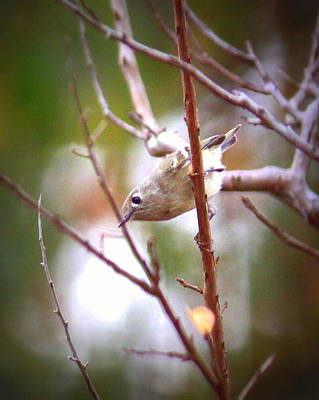 Photograph - Img_2975-001 - Ruby-crowned Kinglet by Travis Truelove