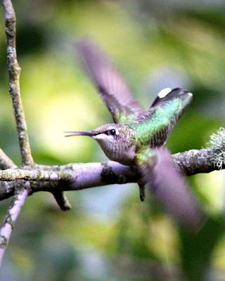 Photograph - Img_3078-002 - Ruby-throated Hummingbird by Travis Truelove