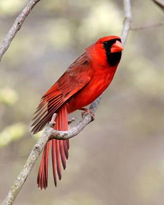 Photograph - Img_3137-011 - Northern Cardinal by Travis Truelove