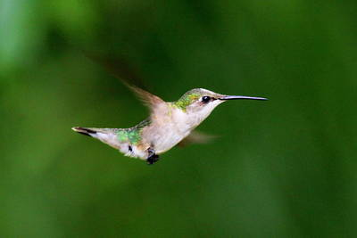 Photograph - Img_3164 - Ruby-throated Hummingbird by Travis Truelove
