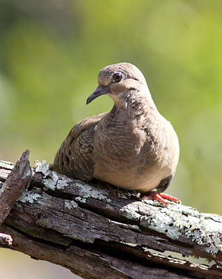 Photograph - Img_3186 - Mourning Dove by Travis Truelove