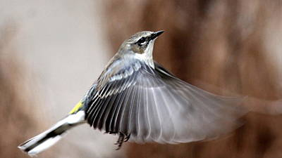 Photograph - Img_3196 - Yellow-rumped Warbler by Travis Truelove
