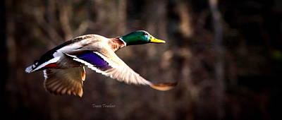 Photograph - Img_3311-017 - Mallard by Travis Truelove