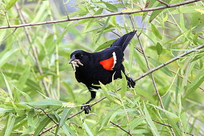 Photograph - Img_3438 - Red-winged Blackbird by Travis Truelove