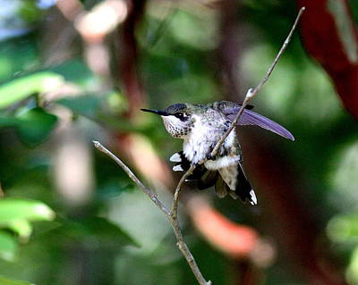 Photograph - Img_3563-001 - Ruby-throated Hummingbird by Travis Truelove