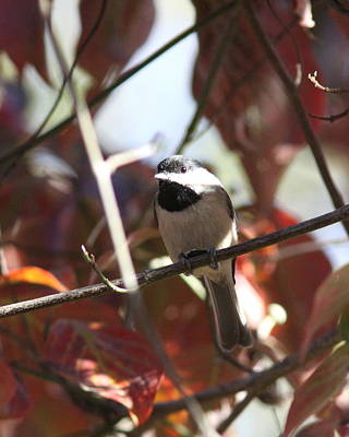 Photograph - Img_3642 - Carolina Chickadee by Travis Truelove