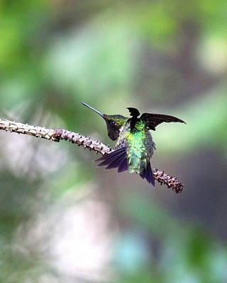 Photograph - Img_3687-003 - Ruby-throated Hummingbird by Travis Truelove