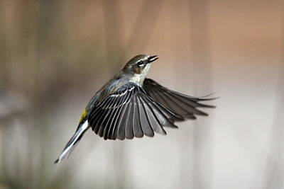 Photograph - Img_3694-001 - Yellow-rumped Warbler by Travis Truelove