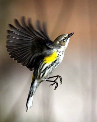 Photograph - Img_3695-001 - Yellow-rumped Warbler by Travis Truelove