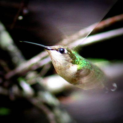 Photograph - Img_3727-001 - Ruby-throated Hummingbird by Travis Truelove