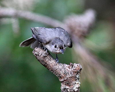 Photograph - Img_3733 - Tufted Titmouse by Travis Truelove