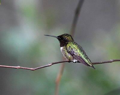 Photograph - Img_3753 - Ruby-throated Hummingbird by Travis Truelove