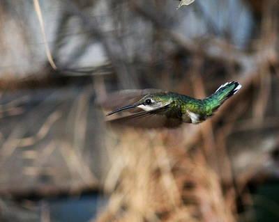 Photograph - Img_3785-001 - Ruby-throated Hummingbird by Travis Truelove