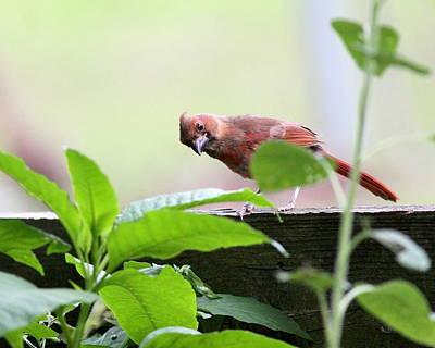 Photograph - Img_3821 - Northern Cardinal by Travis Truelove