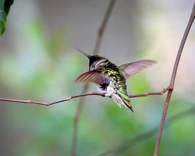 Photograph - Img_3831 - Ruby-throated Hummingbird by Travis Truelove