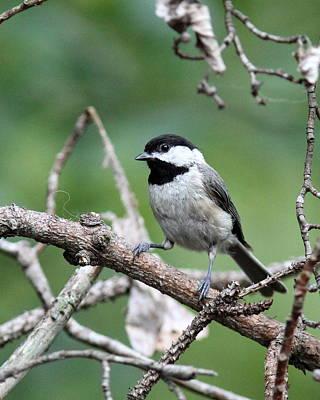 Photograph - Img_3870-001 - Carolina Chickadee by Travis Truelove