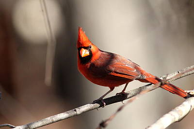 Photograph - Img_4038 - Northern Cardinal by Travis Truelove