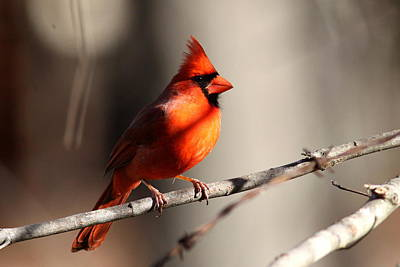 Photograph - Img_4094-001 - Northern Cardinal by Travis Truelove