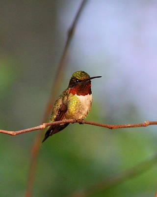 Photograph - Img_4118 - Ruby-throated Hummingbird by Travis Truelove