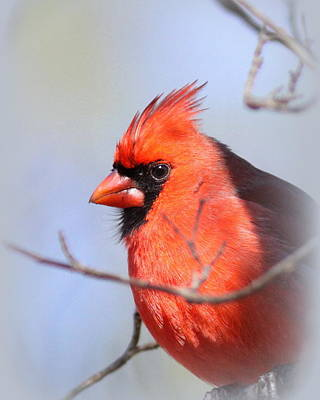 Photograph - Img_4130-013 - Northern Cardinal by Travis Truelove