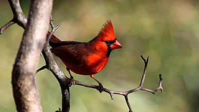 Photograph - Img_4140-001 - Northern Cardinal by Travis Truelove