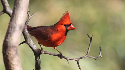 Photograph - Img_4140-002 - Northern Cardinal by Travis Truelove