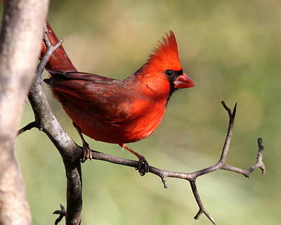 Photograph - Img_4144 - Northern Cardinal by Travis Truelove