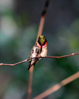 Photograph - Img_4240-001 - Ruby-throated Hummingbird by Travis Truelove