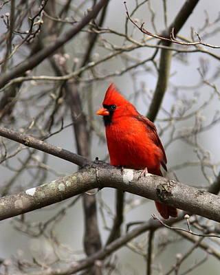 Photograph - Img_4255 - Northern Cardinal by Travis Truelove
