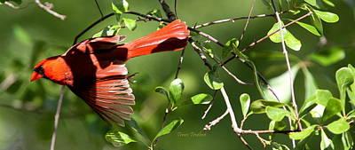 Photograph - Img_4303 - Northern Cardinal by Travis Truelove