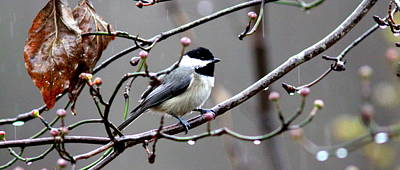 Photograph - Img_4399 - Carolina Chickadee- Coffee Mug by Travis Truelove